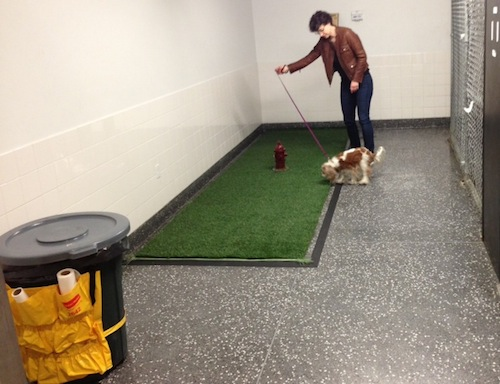 My head is obscuring the poop bag dispenser. Chloe was a bit reluctant to walk on this particular Astroturf, but she eventually stepped on and attended to business.