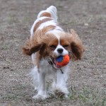 Chloe with Chuckit! mini ball