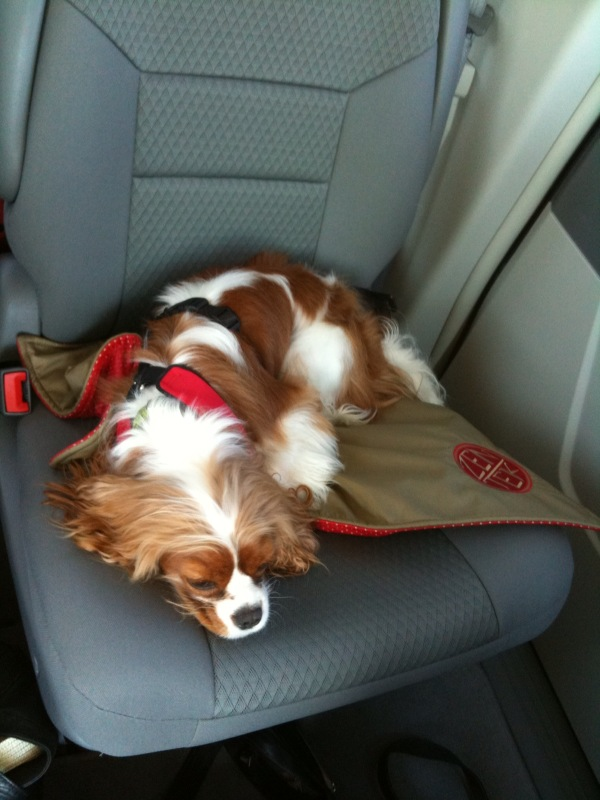 Chloe S Car Harness Keeping Your Small Dog Safe On A Road Trip