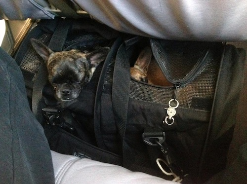 Raisin, on the left, and Mia, lying down, in their large SturdiBag divided carrier, on a United Embraer 175