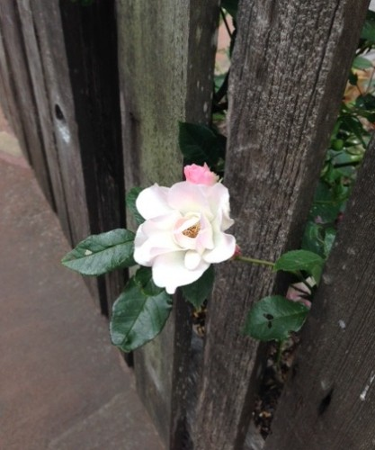 A rose poking through the fence in front of Ruthie's cottage.
