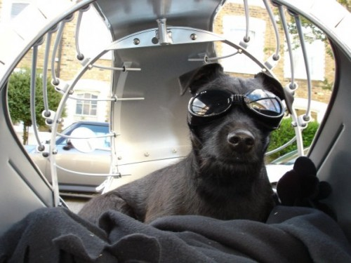 Mouse in her Road Hound, rocking her goggles. She makes me think of Highway 1 and Ray Bans and, dangit, Steve McQueen. That is one cool dog.