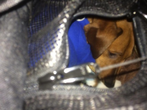 A picture through the top hatch of the SturdiBag, to Oscar curled up inside. Dachshunds! They'll KILL you with those mournful-looking eyebrows!