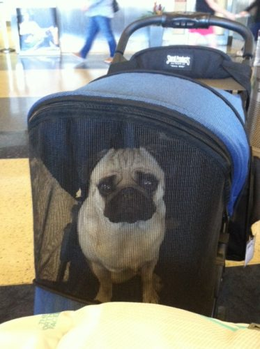 Papaya in his stroller