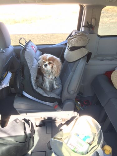 Chloe sitting up in the AirPupSaver 25, installed in a Chrysler Town & Country minivan. Please note that the AirPupSaver 25 does not have any overhead straps (other than the car's own seatbelt).